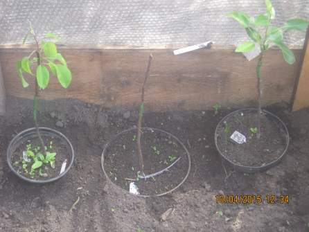 Grafted Pears1